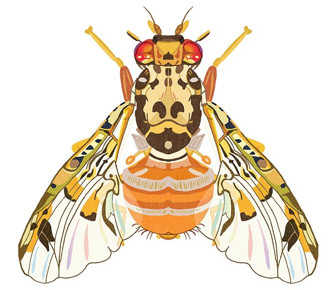 DawnC_InsectEmporium_MediFruitFly
