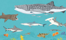 DawnC_OceanEmporium_Sharks_SpeciesSpread_Colour(1)